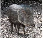 Javenlina or peccary